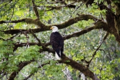 Bald-Eagle-Rogue-River-nggid0232-ngg0dyn-0x360-00f0w010c010r110f110r010t010