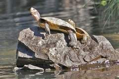 Turtles-on-the-Rogue-River-nggid0239-ngg0dyn-0x360-00f0w010c010r110f110r010t010