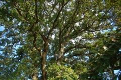 Oak_tree_at_Tualatin_River_Nation_Wildlife_Refuge-nggid0217-ngg0dyn-0x360-00f0w010c010r110f110r010t010