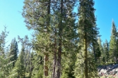 Port-Orford-Cedar-Tree-nggid0219-ngg0dyn-0x360-00f0w010c010r110f110r010t010