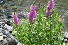 wildflower-rogue-river-oregon-nggid0223-ngg0dyn-0x360-00f0w010c010r110f110r010t010