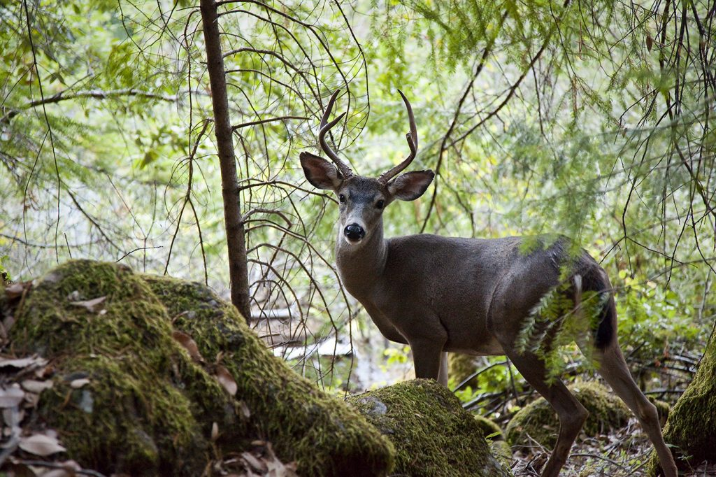 Deer on Oregon's Rogue River