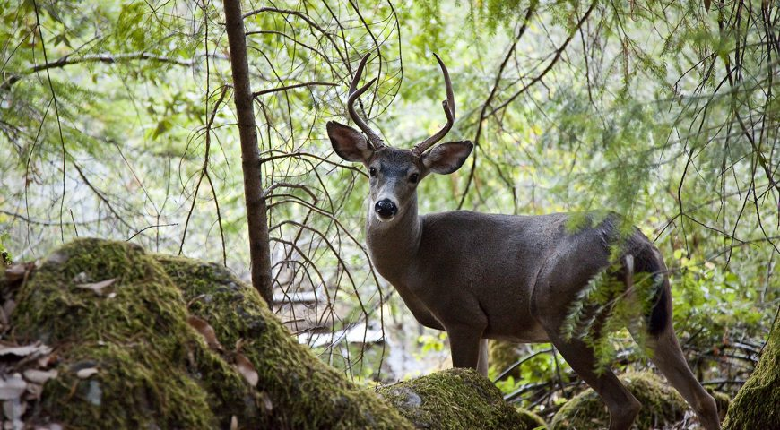 Deer on the Rogue River